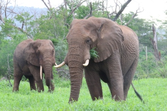Ellies in the lush grass. Image credit: Andi van Zyl