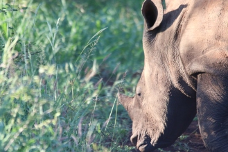 Always special to see the rhinos. Image credit: Andi van Zyl